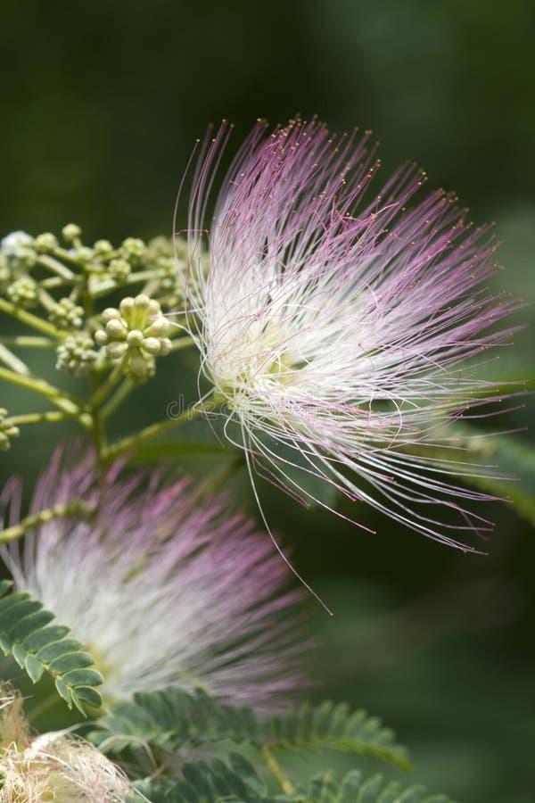Alabama Silk Mimosa Tree Blossoms royalty free stock photo