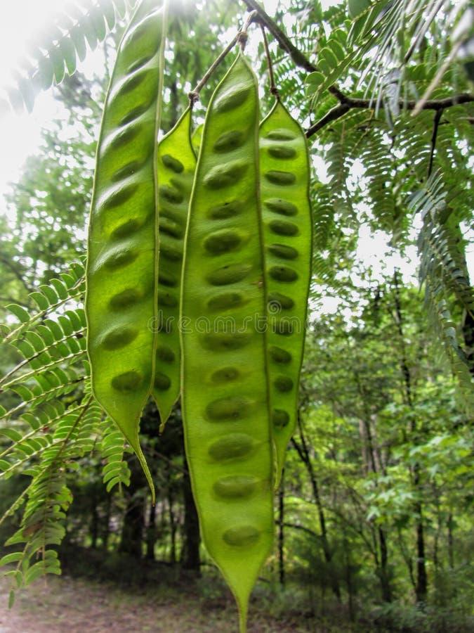 Alabama Silk Mimosa Tree Seed Pods royalty free stock photos