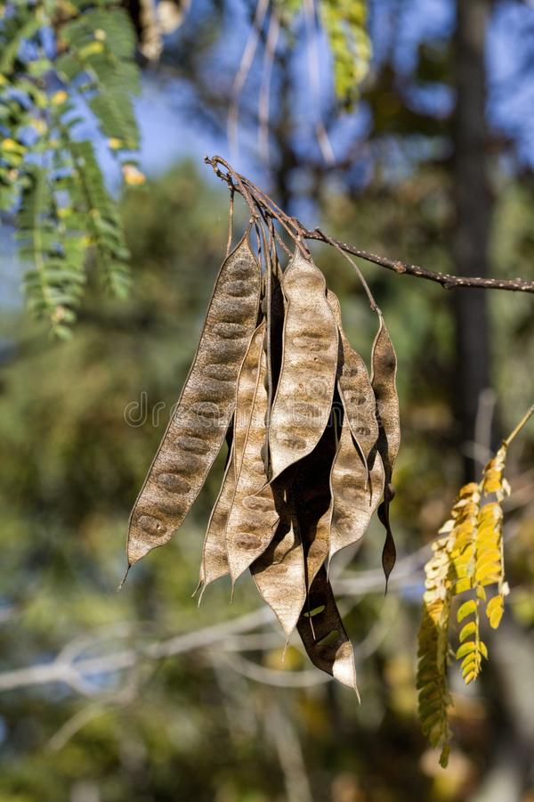 Alabama Silk Mimosa Tree Seed Pods stock photography