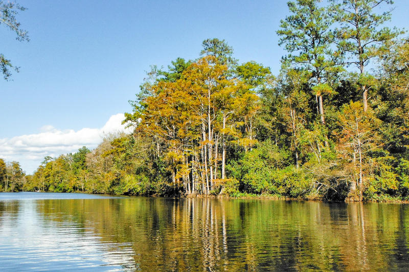 Alabama Swamp. A cypress filled river in the swamps of Alabama royalty free stock images