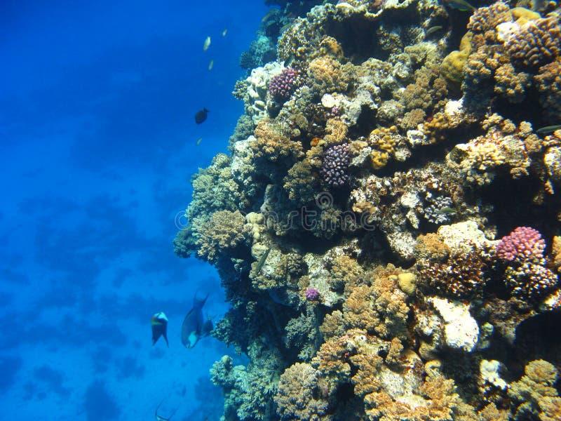 alam珊瑚marsa红色礁石海运 免版税库存图片