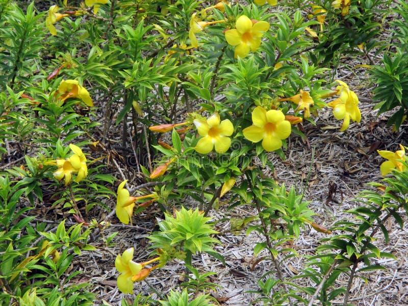 Alamanda или завод чашки золота взбираясь с желтыми цветками стоковое фото rf