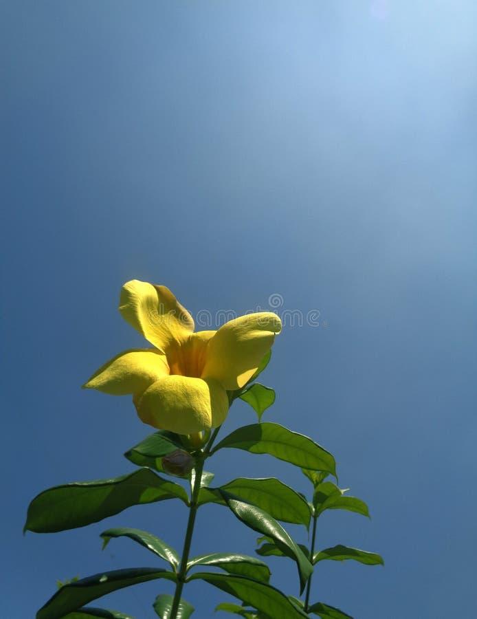 Alamanda blomma i morgonen royaltyfri bild