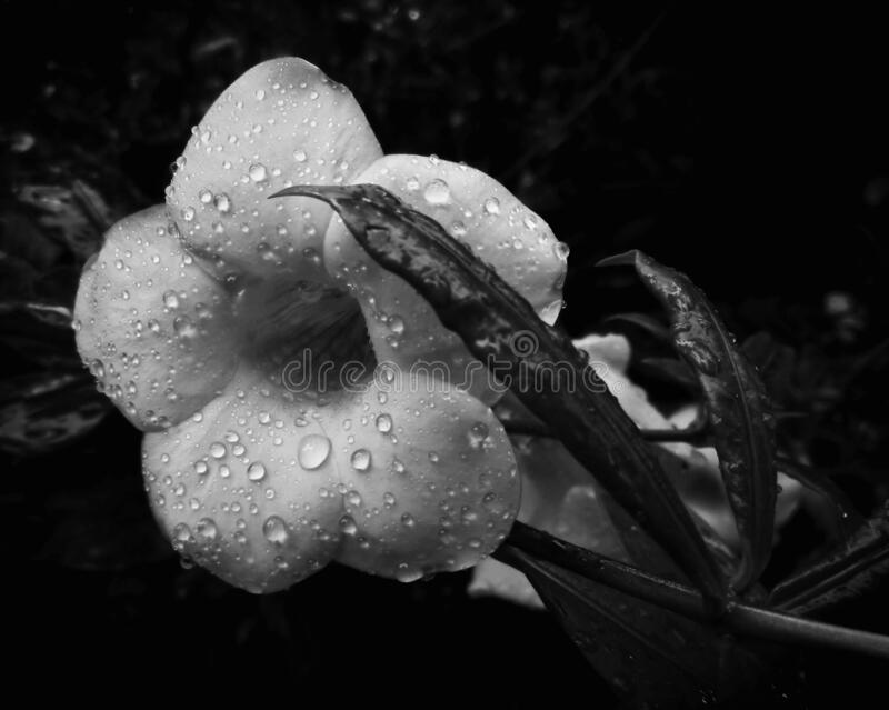 Alamanda flower after the rain in black and white. Large petaled flower with rain drops shot in black and white represents emotions or moods such as freshness royalty free stock image