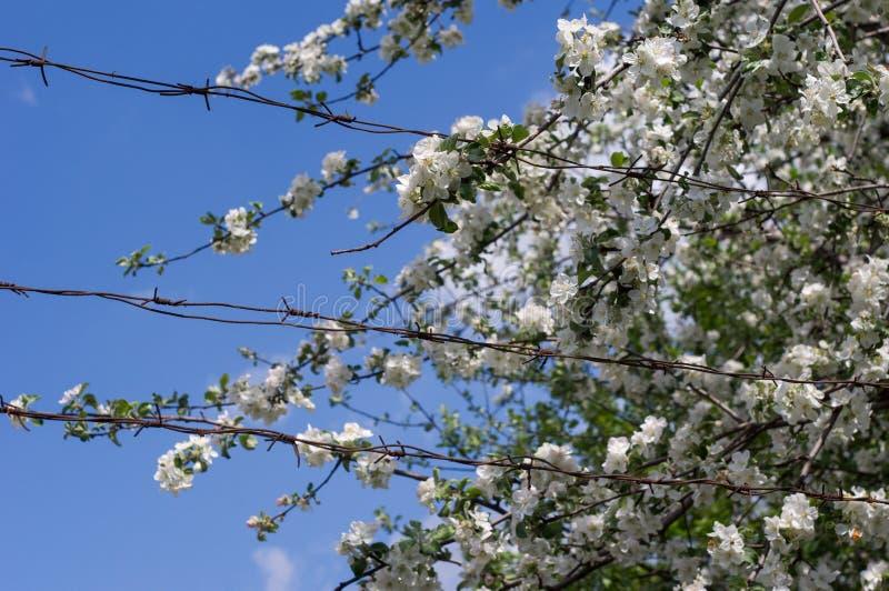 Alambre de púas en el fondo del flor de Apple imágenes de archivo libres de regalías