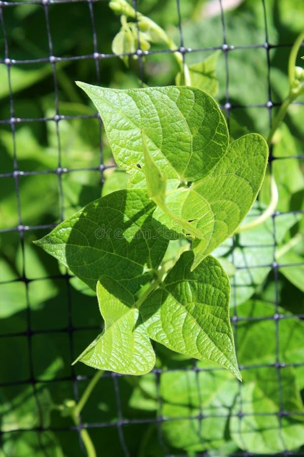 Alambre de pollo que cerca con las hojas verdes enormes del huerto que crece entre las aberturas cuadradas imagen de archivo