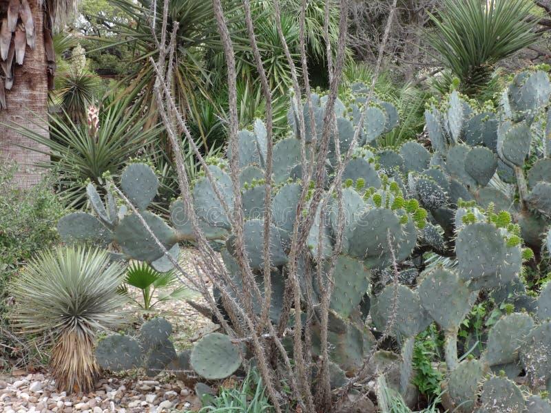 Alamo uprawia ogródek kaktusa zdjęcie royalty free