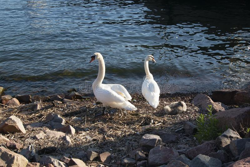 Aland Islands, Finland  - Swans on the waterfront in Mariehamn. Baltic sea stock photography