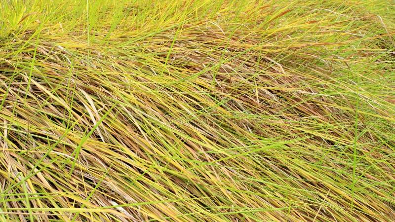 Alang-alang, Blady grass , Cogongrass, Japanese blood grass, Kunai grass, Alang, Thatch grass ,Nature as a background. Alang-alang, Blady grass , Cogongrass royalty free stock image