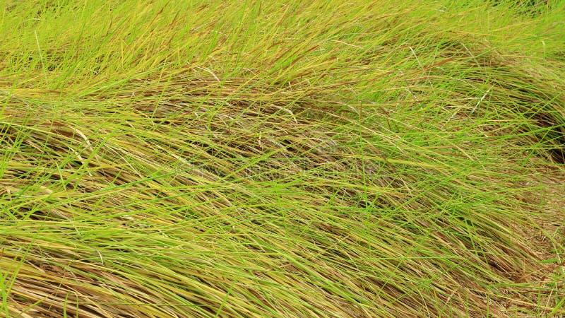 Alang-alang, Blady grass , Cogongrass, Japanese blood grass, Kunai grass, Alang, Thatch grass ,Nature as a background. Alang-alang, Blady grass , Cogongrass stock images