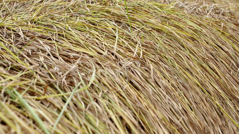 Alang-alang, Blady grass , Cogongrass, Japanese blood grass, Kunai grass, Alang, Thatch grass ,Nature as a background. Alang-alang, Blady grass , Cogongrass stock photos