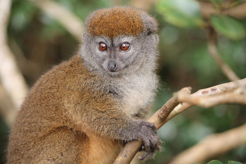 Alaotran柔和的狐猴Hapalemur alaotrensis 免版税库存照片