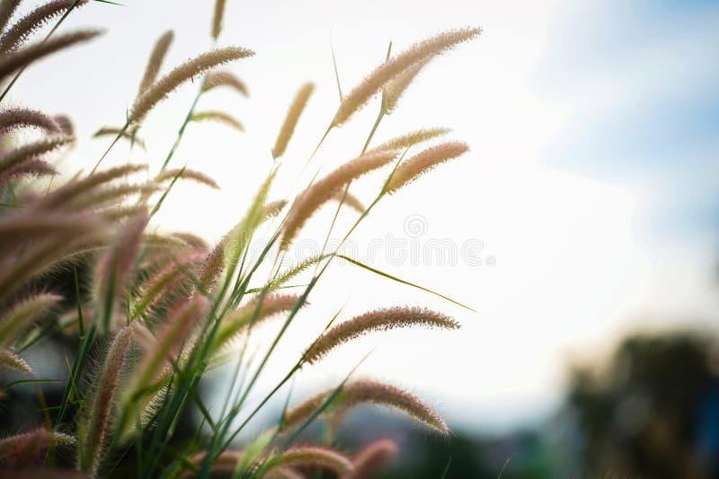 Alargamento branco da luz da grama (grama de Lalang) imagens de stock