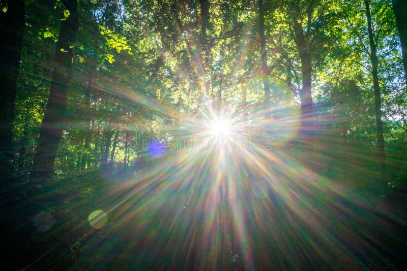 Alargamento solar entre árvores no Bos de Haagse, floresta em Haia fotografia de stock