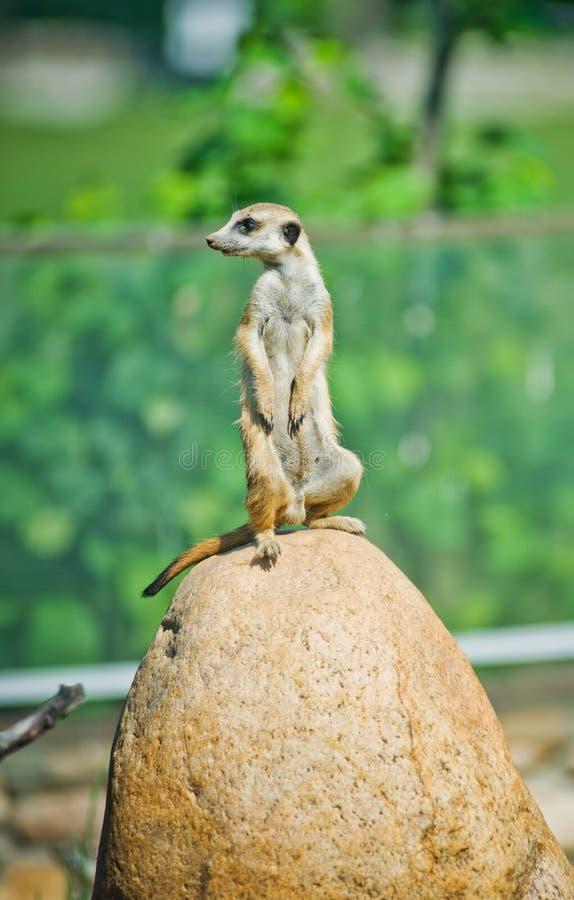 Alarm suricate of meerkat royalty-vrije stock foto's