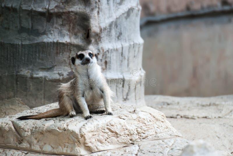 Alarm suricate of meerkat royalty-vrije stock fotografie