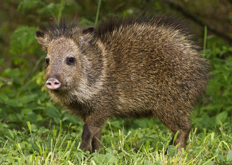 Alarmed javelina. The erect hairs on the back of this javelina indicate that the animal is alarmed royalty free stock images