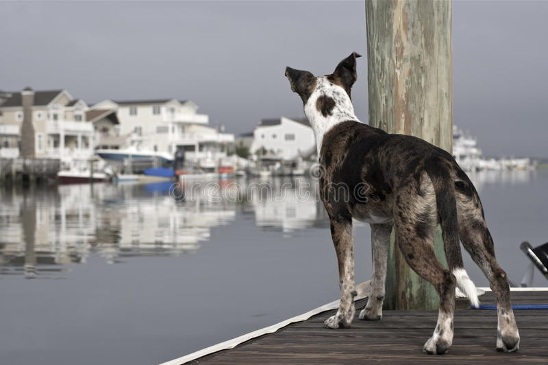 Alarmhund auf dem Dock lizenzfreie stockbilder