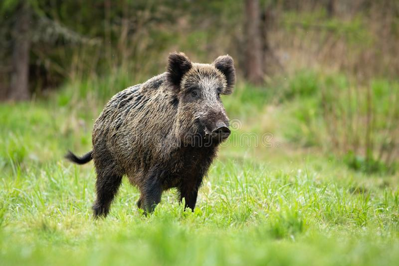 Alarmierende männliche Wildschweine, die im Frühjahr auf einer Wiese heftig stehen lizenzfreies stockbild