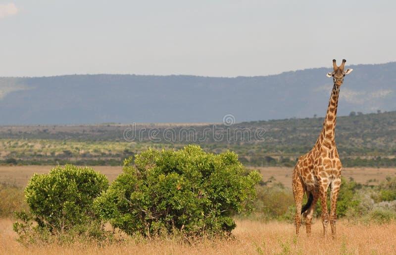 Alarmiertes giraphe - Serengeti (Tanzania, Afrika)) lizenzfreie stockfotografie