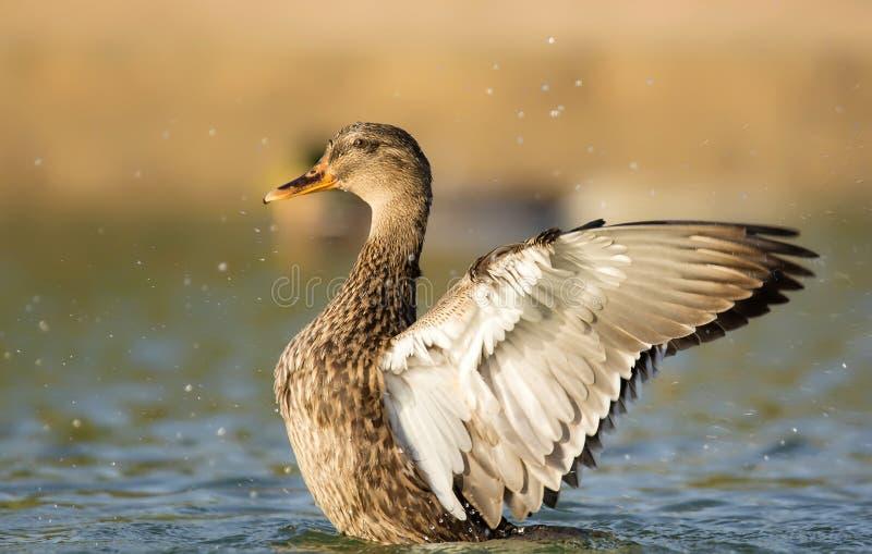 Alas abiertas del pato del pato silvestre imagenes de archivo