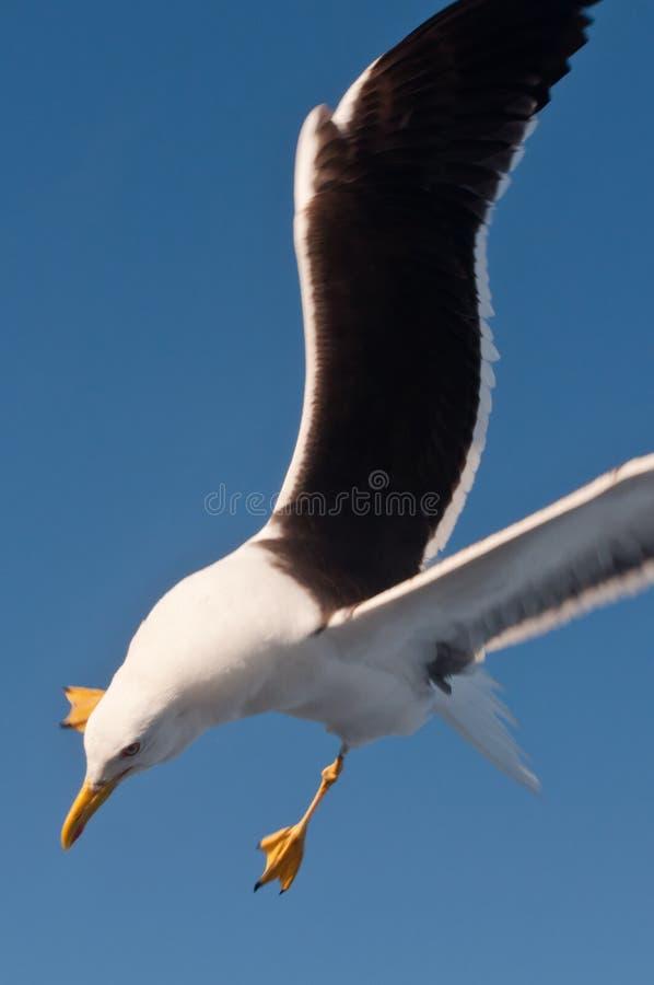 Alas blancas Swooping del blak de la gaviota imagenes de archivo