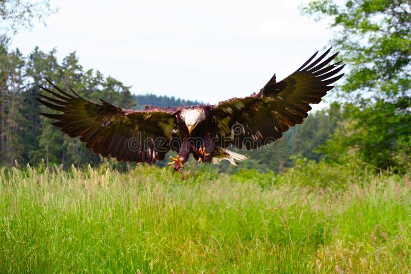 Alas de extensión del águila calva imágenes de archivo libres de regalías