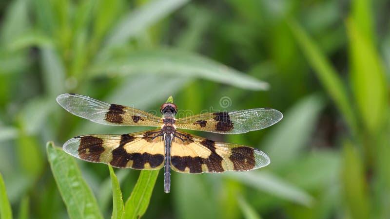 Alas de la libélula de Brown encaramadas imagenes de archivo