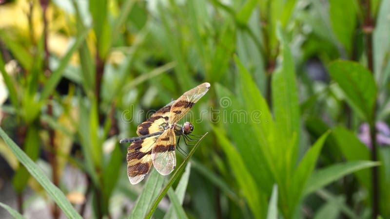 Alas de la libélula de Brown encaramadas imagen de archivo