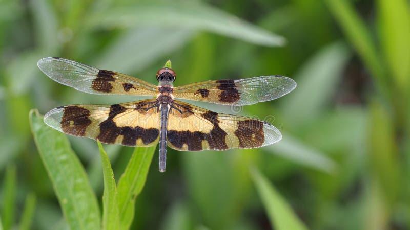 Alas de la libélula de Brown encaramadas fotografía de archivo libre de regalías