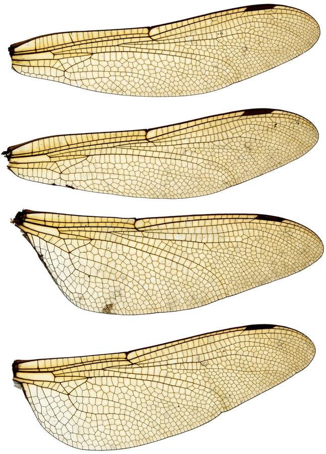 Alas de la libélula fijadas fotos de archivo