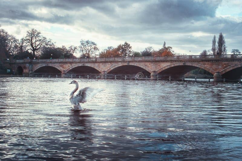 Alas del aleteo del cisne imagenes de archivo