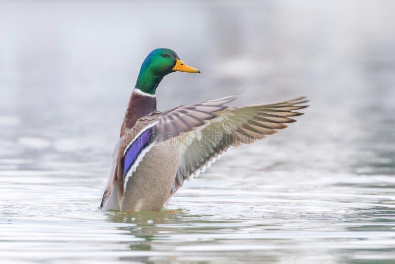 Alas del aleteo del pato salvaje, platyrhynchos masculinos de las anecdotarios del pato silvestre imagenes de archivo