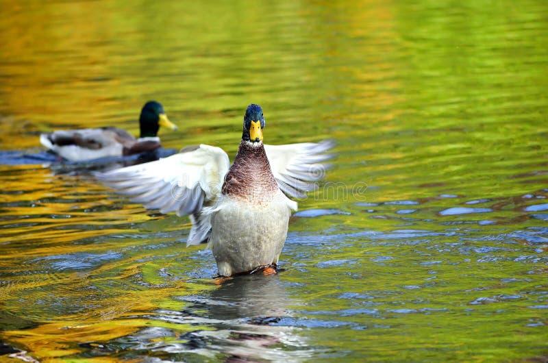 Alas que agitan del pato del pato silvestre en la charca foto de archivo libre de regalías