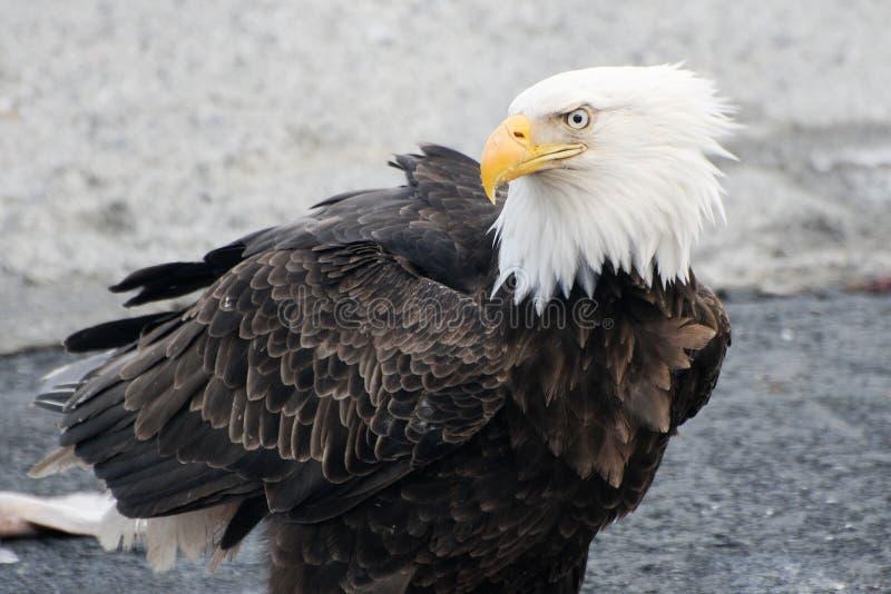 alaska łysego orła kodiak zdjęcia royalty free
