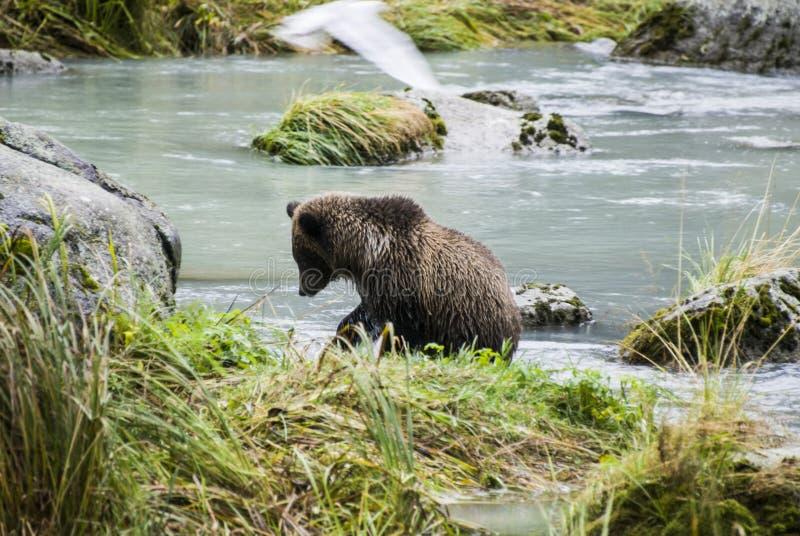 Alaska - Baby-Braunbär, der einen Fisch fängt stockfotos