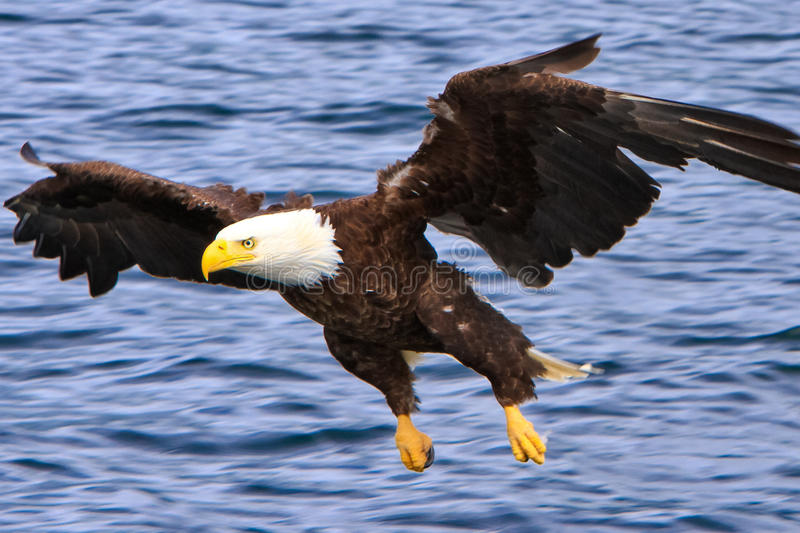 Alaska Bald Eagle Flying Low. A mature Bald Eagle swooping in to catch a fish off the surface of the water near Ketchikan, Alaska. The American Bald Eagle is a