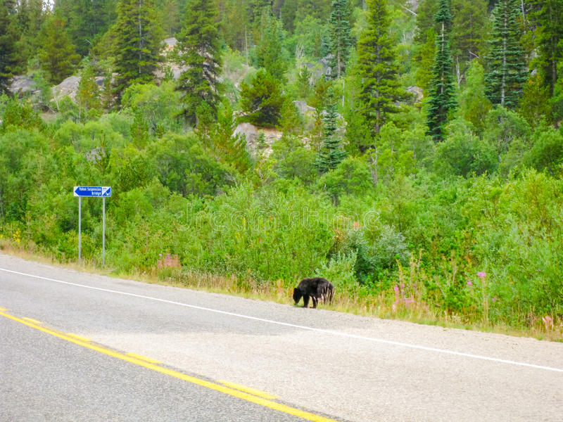 Alaska bear. Wild brown bear walking on the road, off the forest, because of deforestation and territory reduction in Alaska, United States