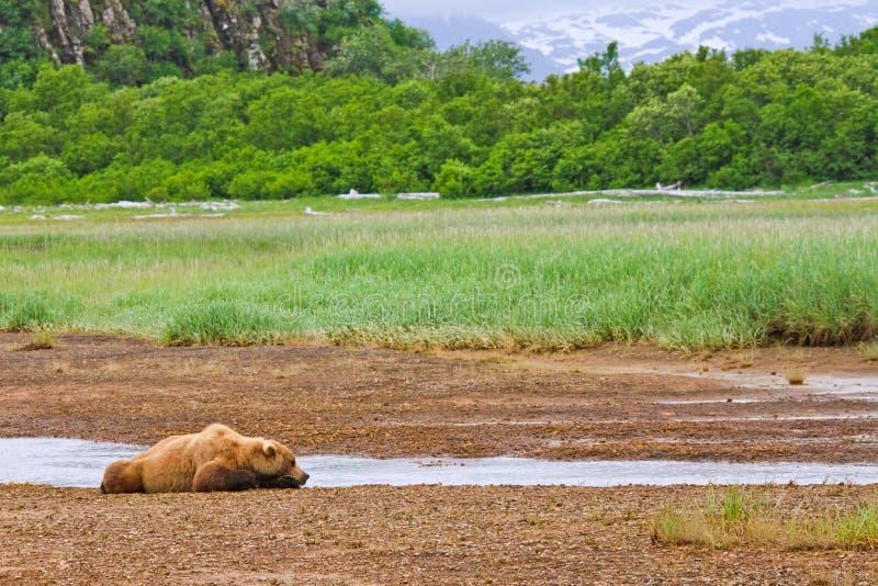 Alaska-Braunbär, der im Fluss-Bett schläft stockfotos