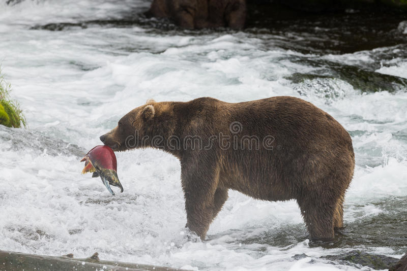Alaska-Braunbär mit Lachsen lizenzfreies stockbild