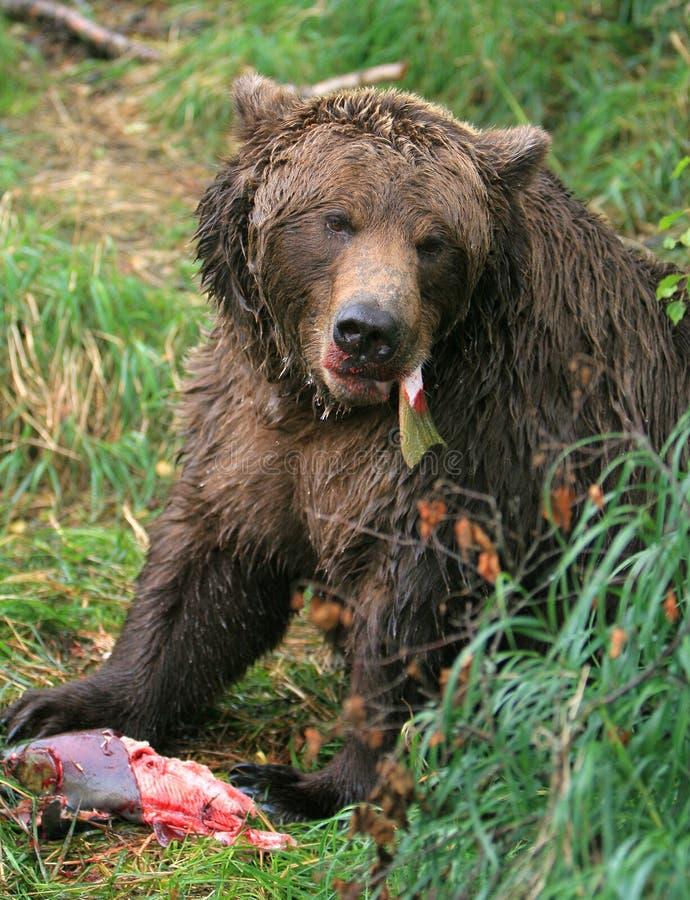 Alaska-brauner Bär lizenzfreie stockbilder