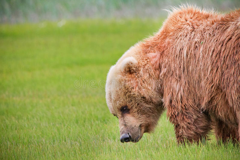Alaska Brown Bear Green Grass Meadow royalty free stock photography