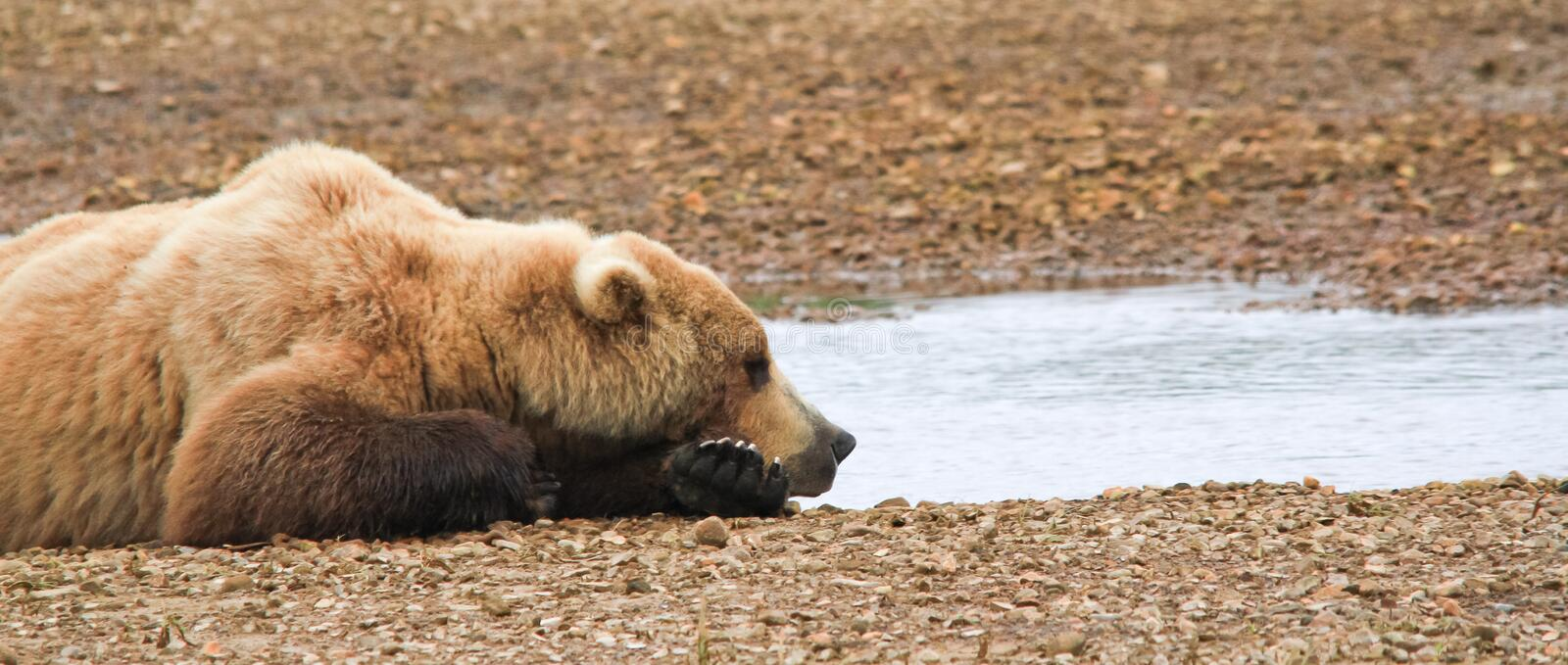 Alaska Brown Bear Napping By the Water. A male coastal brown bear sleeps along side a small river in Hallo Bay, located in Katmai National Park in Alaska. These royalty free stock photography