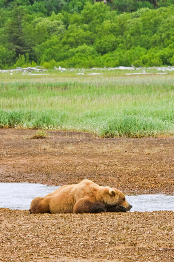Alaska Brown Bear Sleeping. A male coastal brown bear sleeps along side a small river in Hallo Bay, located in Katmai National Park in Alaska. These bears spend royalty free stock image