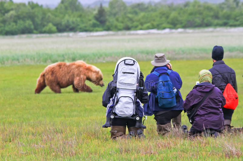 Alaska Brown Bear Viewing Group Hallo Bay. A male coastal brown bear walks through a sweet salt grass meadow in Hallo Bay in front of a small group of nature stock photo