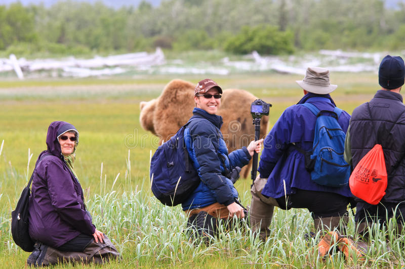 Alaska Brown Bear Viewing Group in Katmai. A male coastal brown bear walks through a sweet salt grass meadow in Hallo Bay in front of a small group of nature stock image