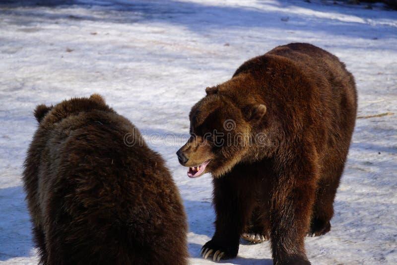 Fighting Alaska Brown Bears. Alaska Brown Bears fighting in the snow stock photography