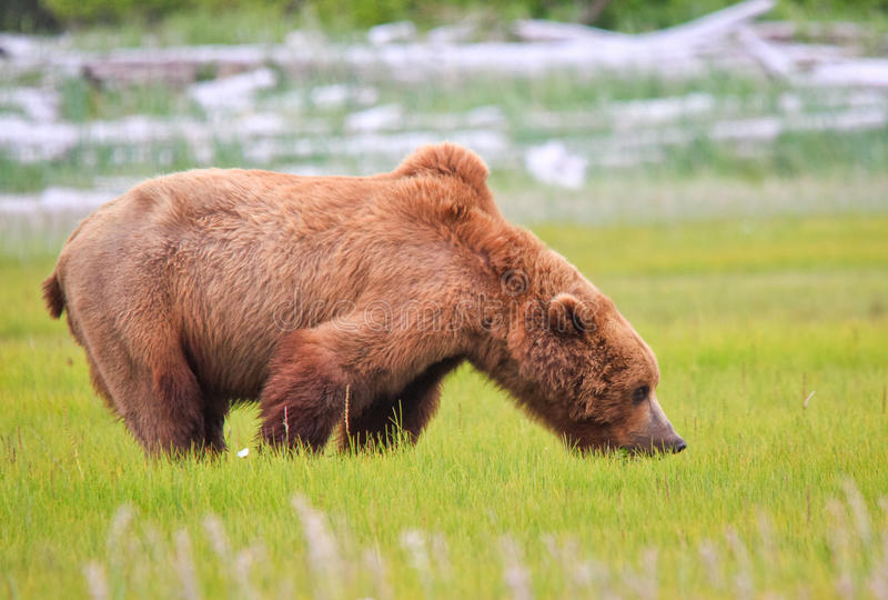 Alaska Brown Grizzly Bear Eating Grass. A male coastal brown bear grazing on new spring sweet salt grasses in a meadow in Hallo Bay, located in Katmai National stock photos