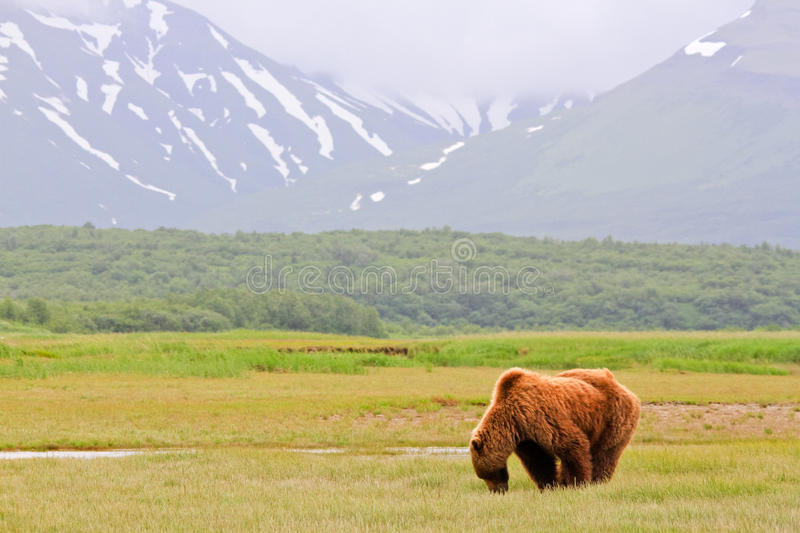 Alaska Brown Grizzly Bear Grazing in Katmai. A male coastal brown bear grazing on new spring sweet salt grasses in a meadow with a glacier in the background in stock photo