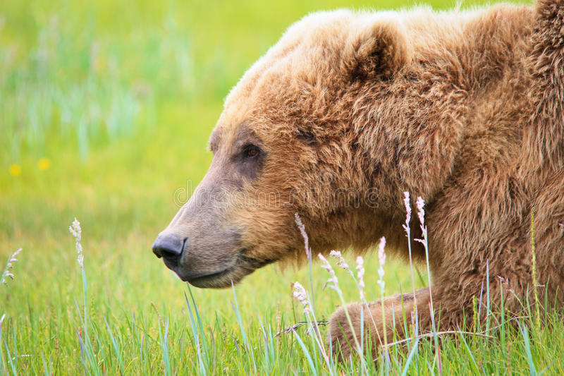 Alaska Brown Grizzly Bear in Katmai. A male coastal brown bear takes a short break from grazing his way through a sweet salt grass meadow in Hallo Bay, located stock photos